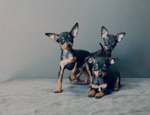Tres Ratoneros de Praga Toy negros y marrones en un sofá