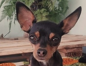 Cara del perro Ratonero de Praga