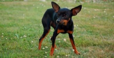 Raza de perro Ratonero Mallorquín