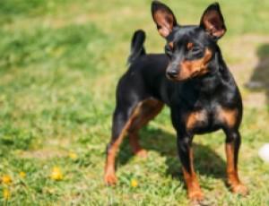 perro Ratonero de Praga en alerta