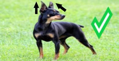 Cómo saber si un perro Ratonero de Praga es original o puro