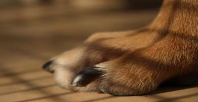 Uñas del perro Ratonero de Praga