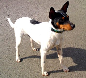 raza de perro ratonero bodeguero andaluz